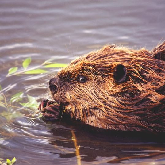 a beaver in a local park eating leaves off a branch