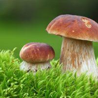 Two Oak Mushrooms in the moss