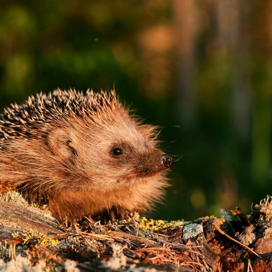 Hedgehog. A hedgehog in beams of the coming sun on the fringe of the forest.