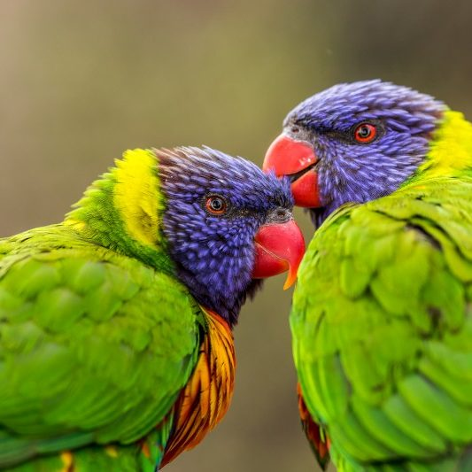 Rainbow Lorikeet Parrot - a very brightly colored parrot