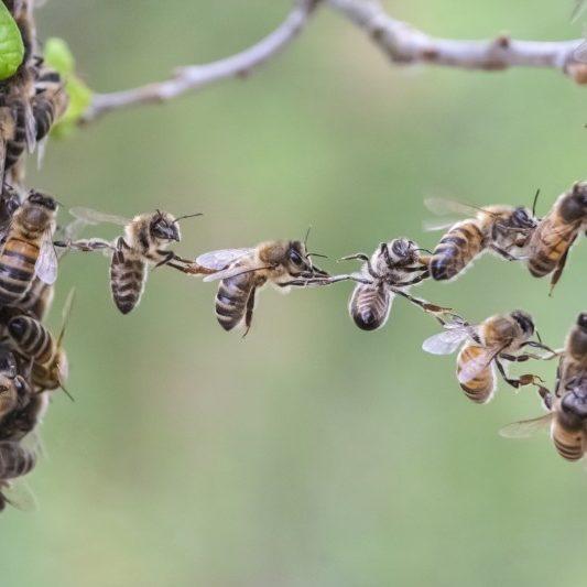Teamwork of bees bridge a gap of bee swarm